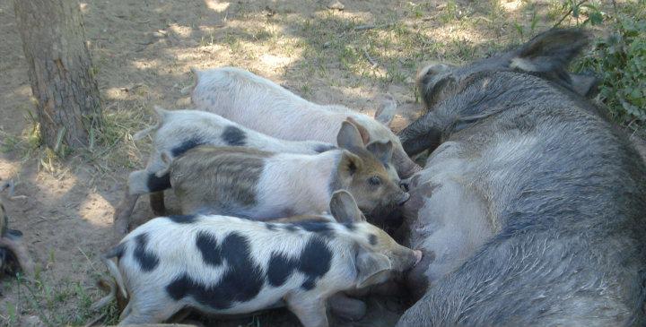 Una vacanza in fattoria per bambini - I maialetti con la madre