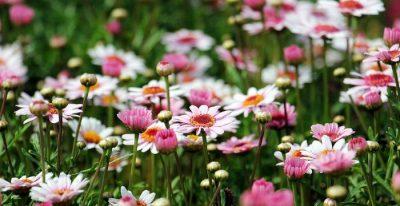 primavera margherite